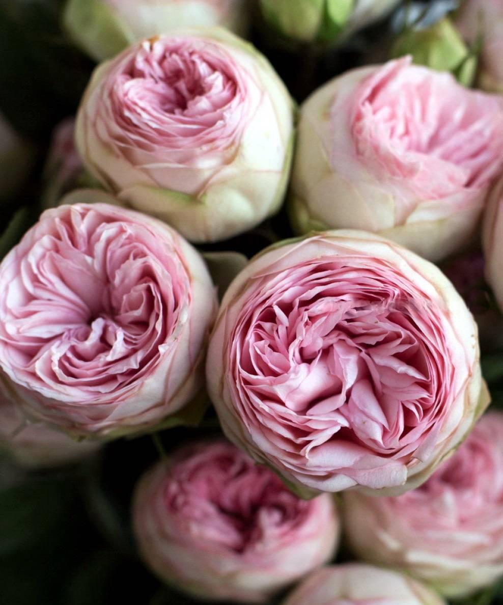 Роза пиано: описание сорта, способы размножения и борьбы с вредителями