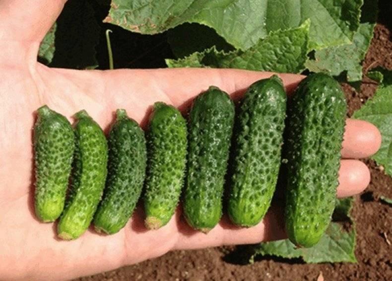 Описание сорта и особенности выращивания огурцов эколь f1