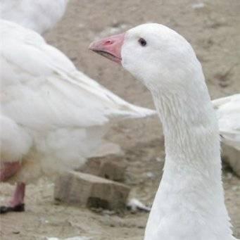 Тульские гуси: 7 преимуществ в пользу разведения и содержания породы