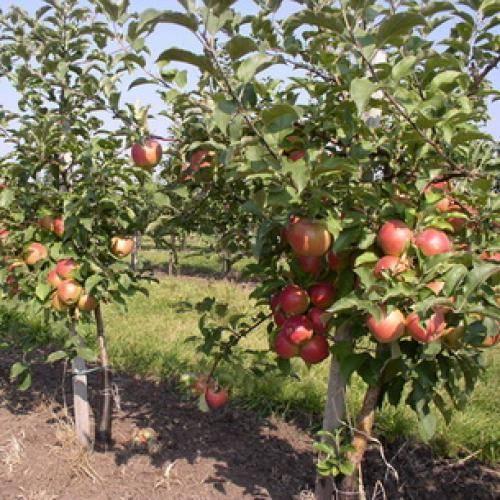 Что такое карликовый подвой для яблони. карликовый подвой