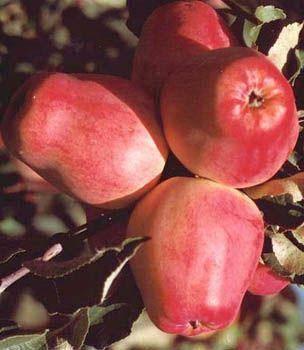 Богатый витаминами сорт яблок орловский кандиль