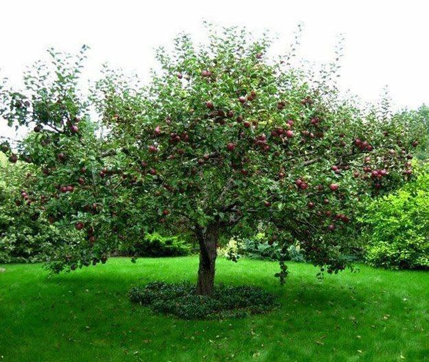 Сорт яблок звездочка