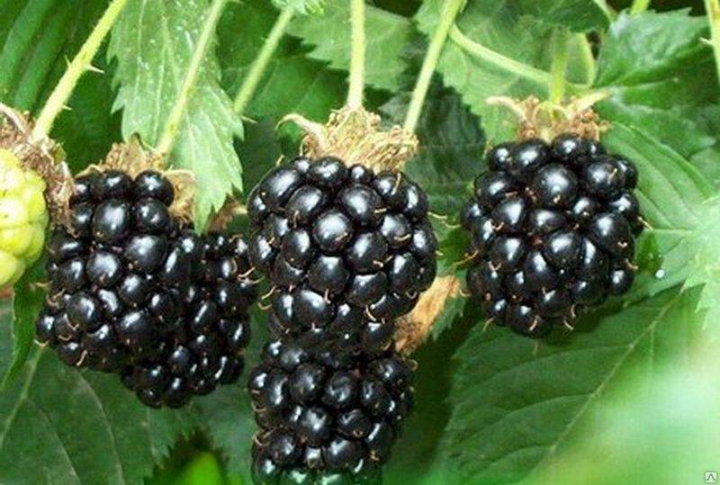 Шелковица – выращивание и уход