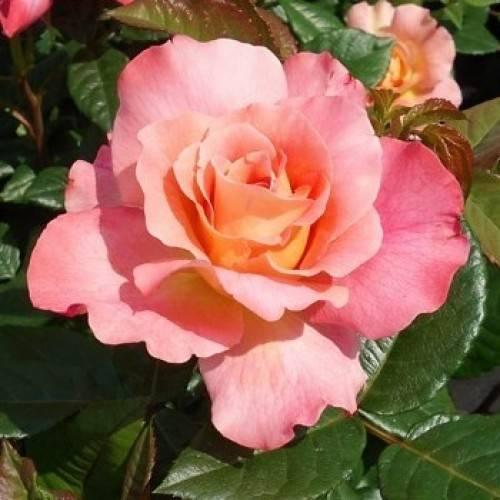 Роза августа луиза (augusta luise): описание сорта, уход и размножение
