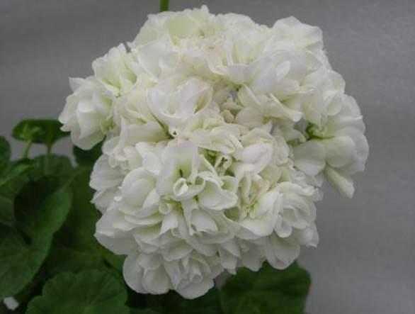 Герань розебудная: каким образом она цветет, описание розовидных сортов растения и фото розиты, эппл блоссом розебуд, махровой и красной, уход в домашних условиях