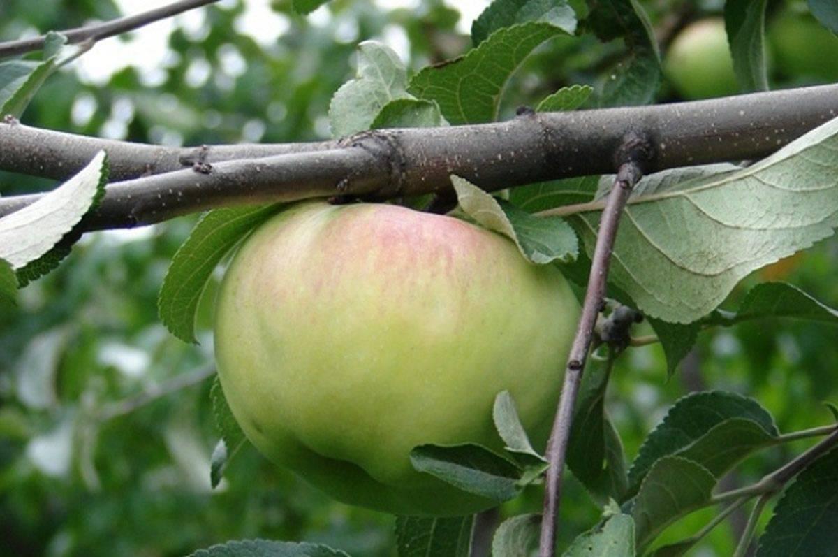 Яблоня «богатырь»: описание сорта, посадка, уход, отзывы + фото