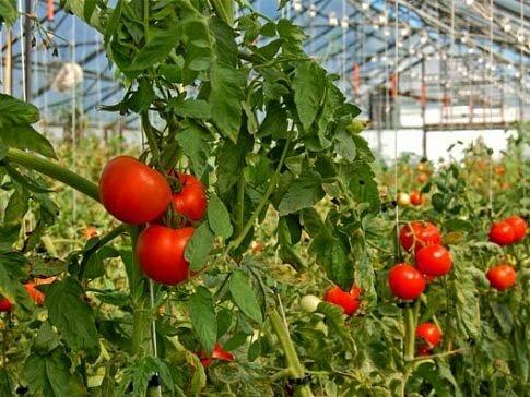 Чем подкормить помидоры после высадки в теплицу