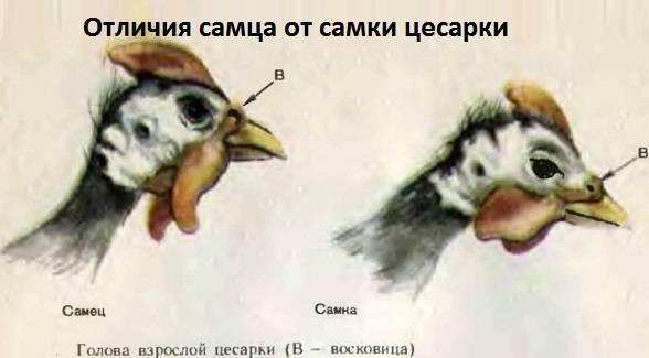 Цесарки - как содержать цесарок, чем их кормить? болезни цесарок