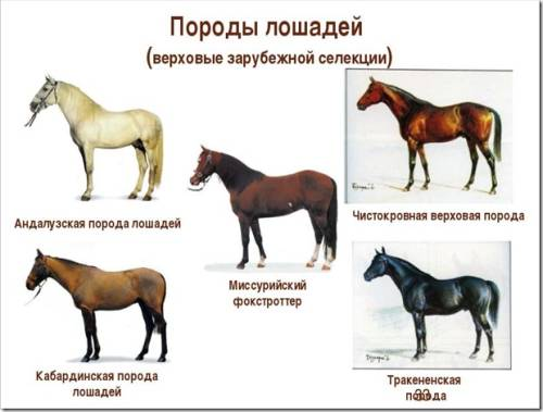 Русские породы лошадей (29 фото): серебристая, скаковая и другие разновидности. характеристика, происхождение, применение