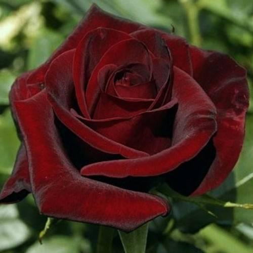 Черные розы — сорта и описания   о розе