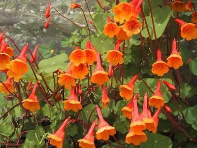О цветке настурция (лечебные свойства многолетника, виды и сорта)
