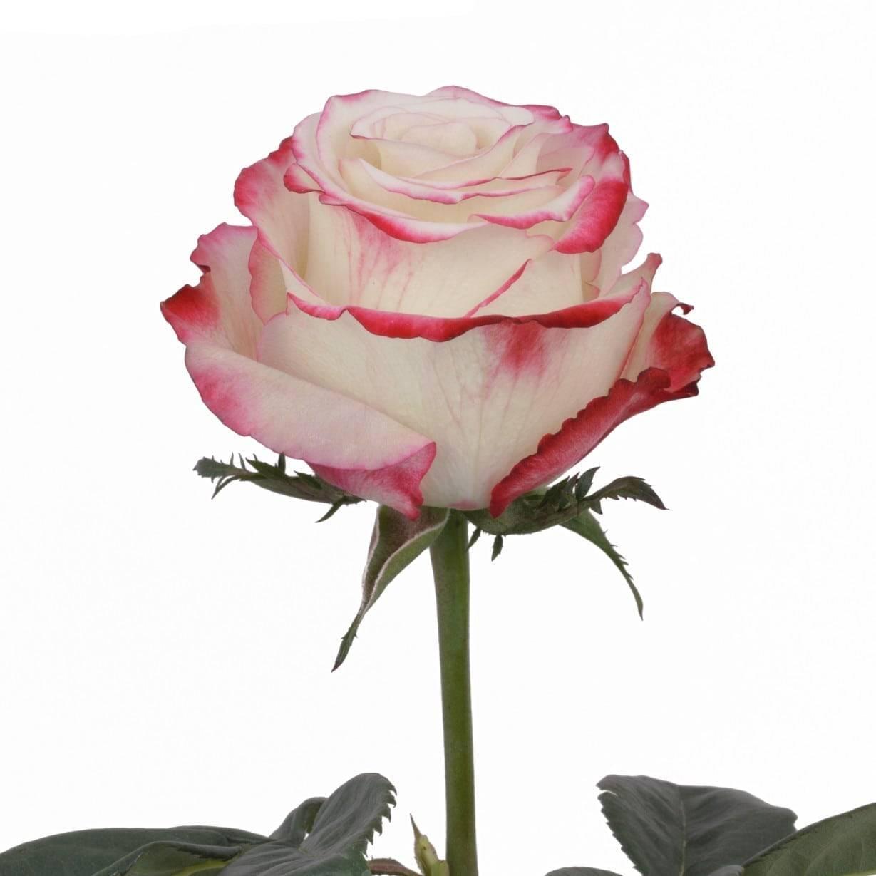 Роза «свитнесс»: описание и фото сорта, сроки и правила посадки, видео