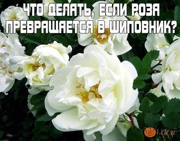 Можно ли спасти розу переродившуюся в шиповник