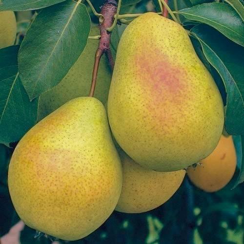 Груша сорта чижовская: описание и фото, отзывы садоводов, правила посадки и ухода за деревом