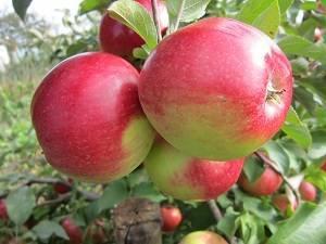 Яблоня лигол | domogorodnika.ru