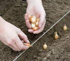 Как правильно вырастить лук севок из семян