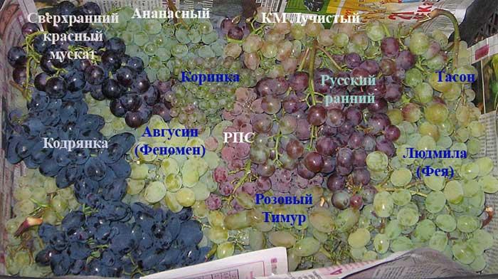 Особенности винограда мукузани описание сорта