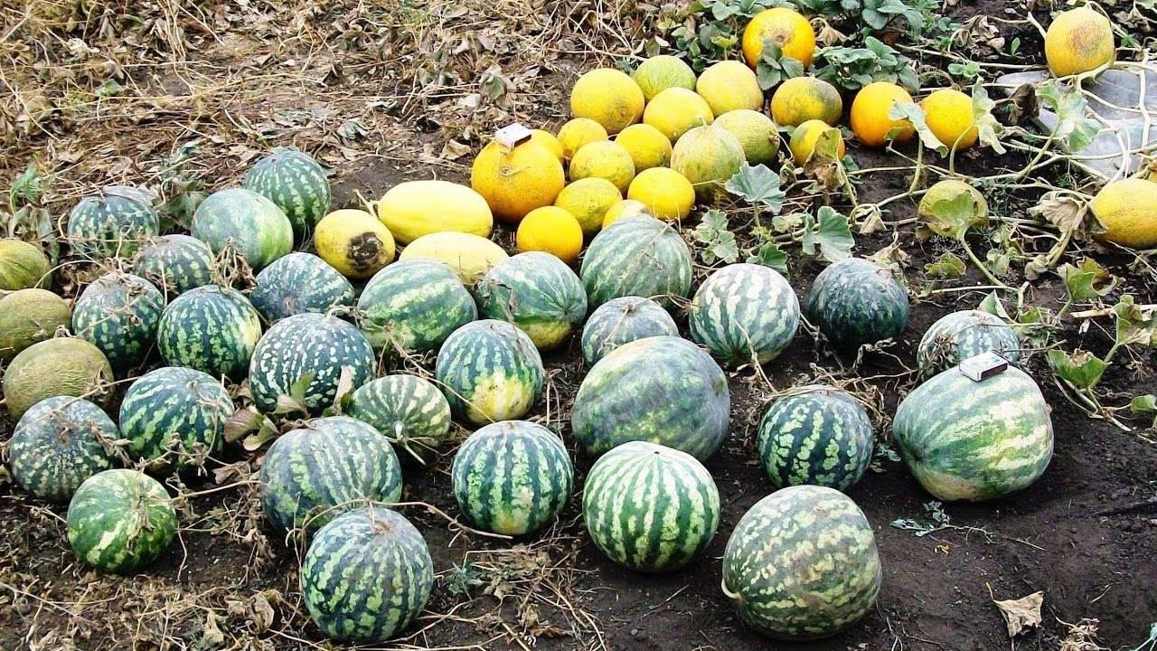 Выращивание арбузов в теплице и открытом грунте | россельхоз.рф