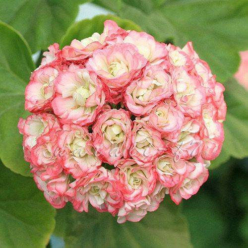 О пеларгонии apple blossom rosebud (аплеблоссом розебуд): характеристики сорта