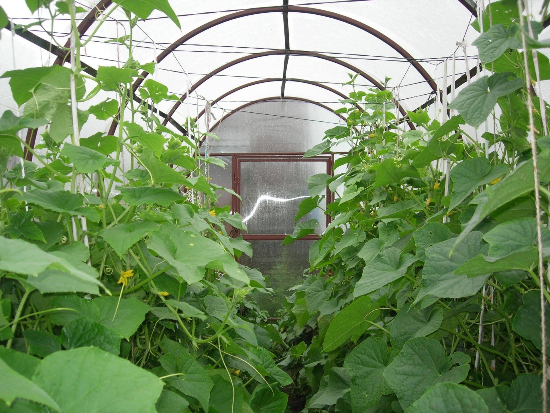 Огурцы сибирская гирлянда: способы выращивания