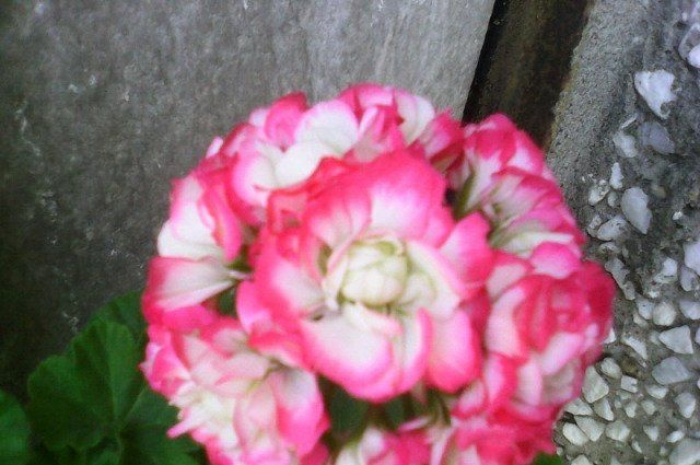 Красивейшая из гераней — розебудная. фото, описание сортов, особенности выращивания