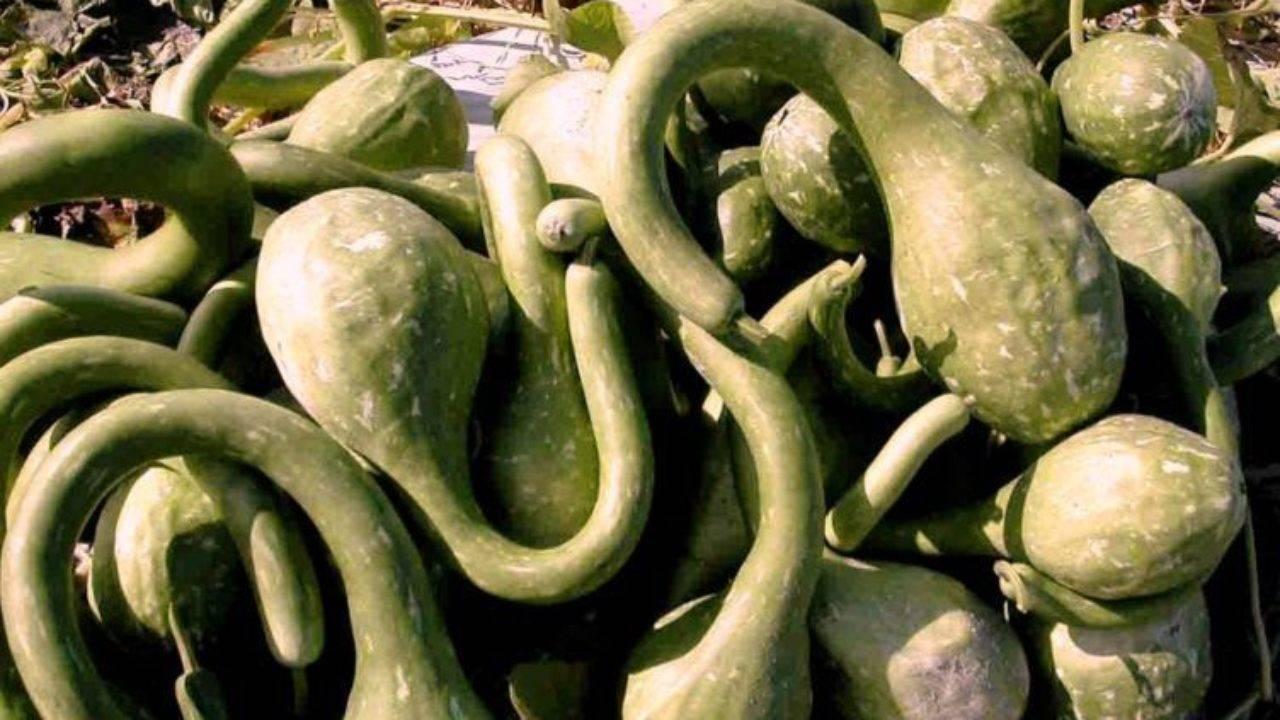 Дыни: сорта и гибриды