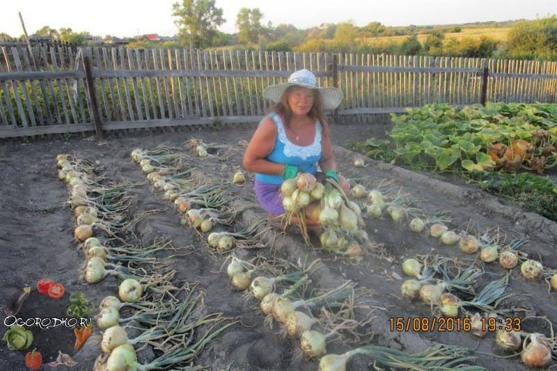 Лук эксибишен – выращивание из семян, когда сажать, как правильно поливать, удобрять и пикировать