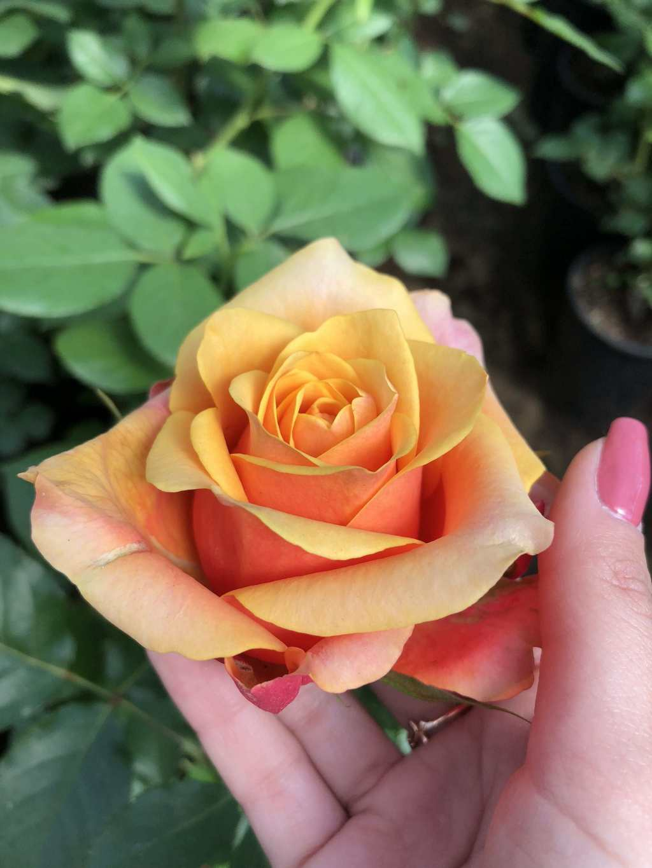 Cherry brandy — чайно-гибридная роза биколор от немецкой компании tantau