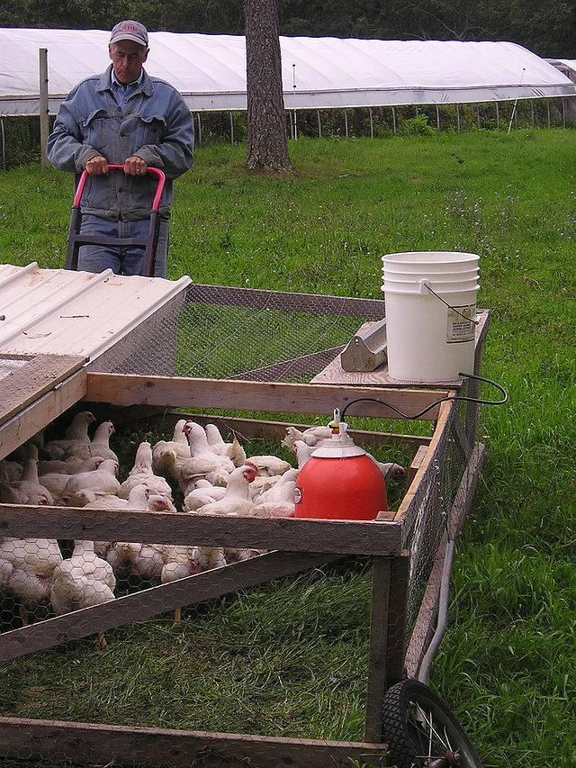 Как правильно организовать выгул для кур? что выбрать — вольер, переносной солярий или вольный загон?