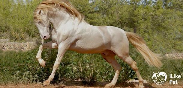 Андалузская лошадь