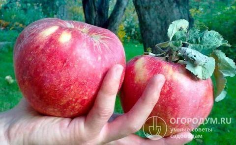 Один из старейших сортов яблок — апорт. описание и фото, особенности выращивания