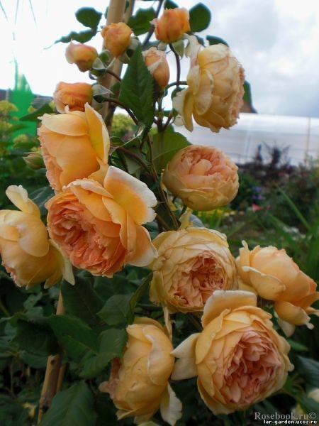 Розы остина принцесса маргарет