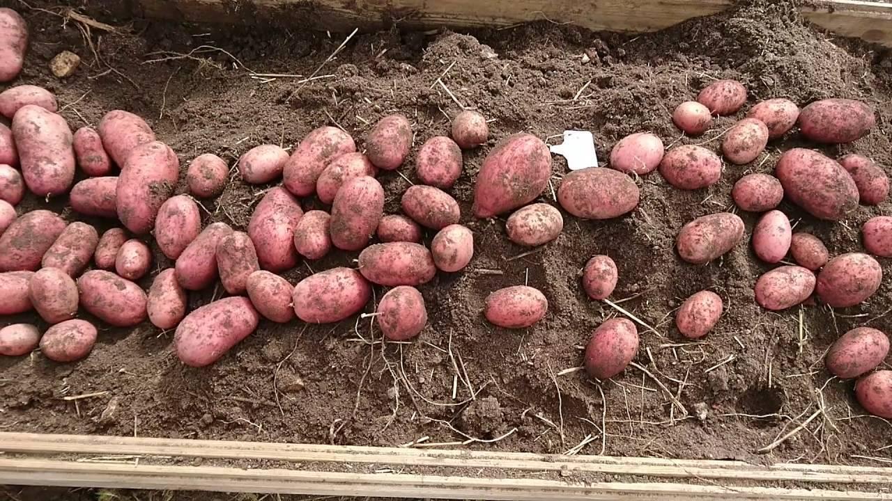 Сорт картофеля — беллароза