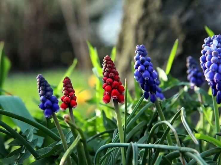 Как сажать мускари весной. уход за muscari. подкормка и удобрения