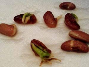 Как вырастить фасоль в открытом грунте - посадка, уход, полив