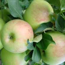 Яблоня «богатырь»: описание сорта, фото и отзывы