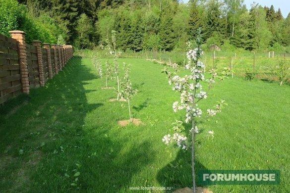 На каком расстоянии сажать яблони и груши друг от друга. планировка сада