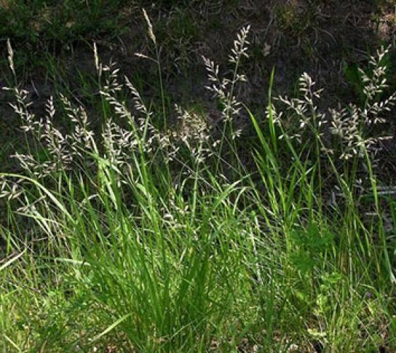 Мятлик луговой обыкновенный: описание растения