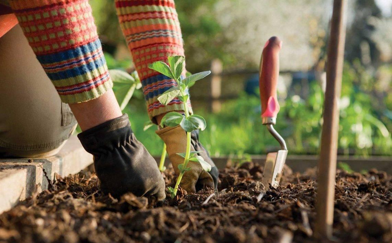 О удобрении: можно ли удобрять клубнику навозом, конский навоз как удобрение