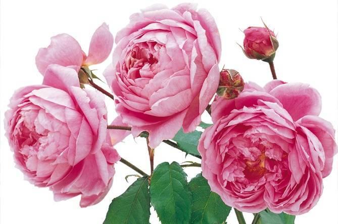 Роза алан титчмарш