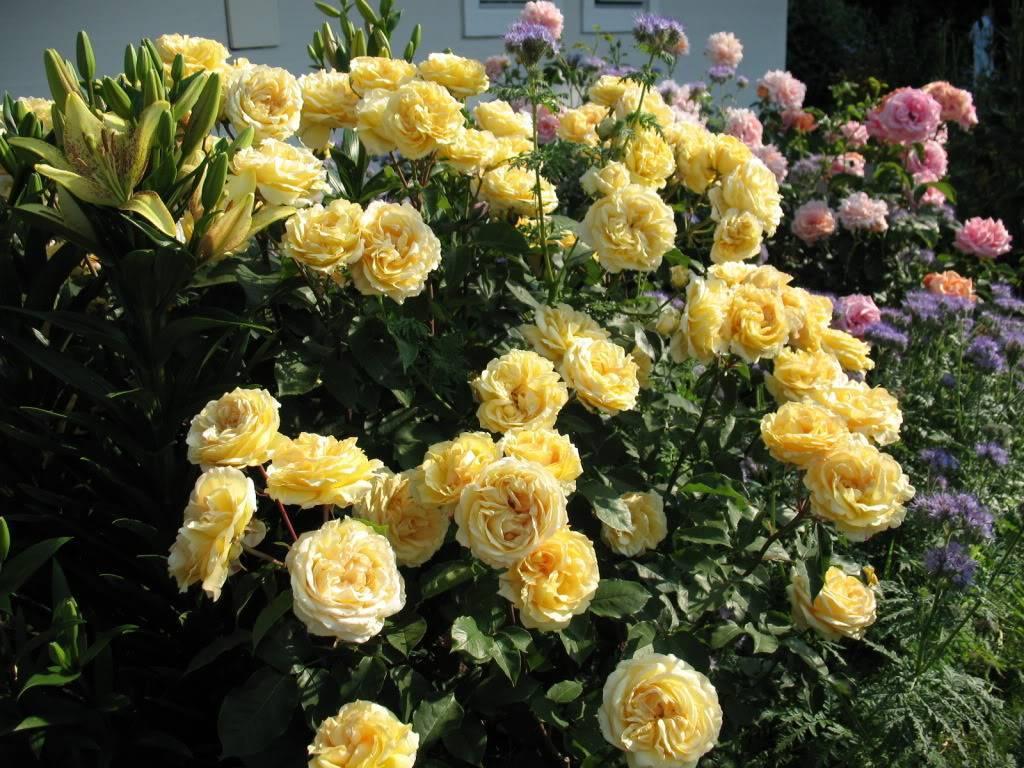 Роза амелия. роза амалия