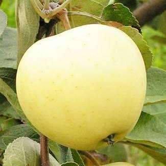 Подробная характеристика и особенности выращивания яблони сорта белорусское сладкое