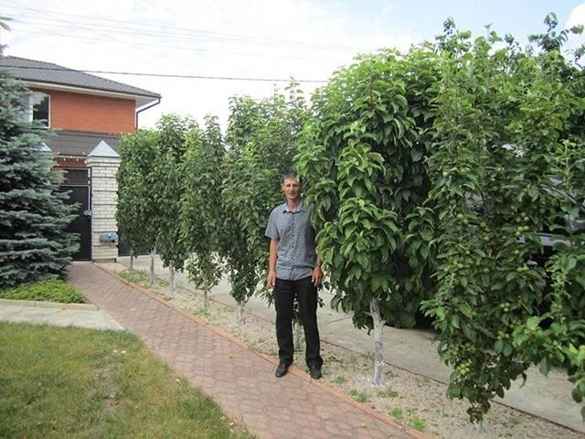 Как правильно посадить и обеспечить уход колоновидной груше