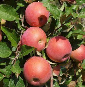 Описание и особенности выращивания сорта яблонь фуджи