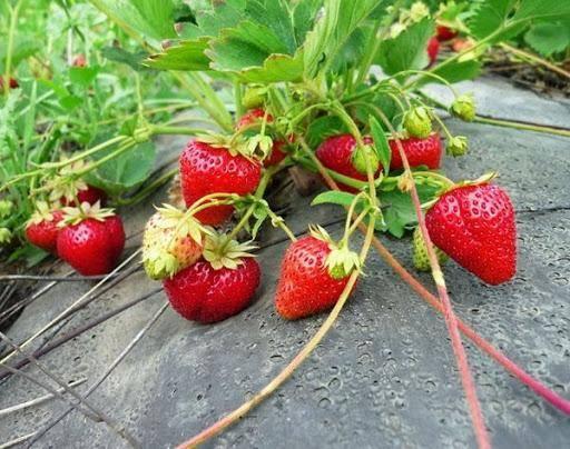 Как выращивать клубнику в открытом грунте в сибири
