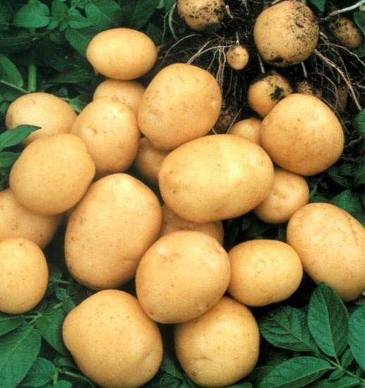 Подготовка картофеля к посадке – отбор, проращивание, озеленение