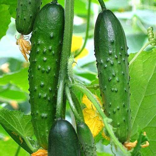 Сорт огурцов апрельский: характеристика и особенности выращивания
