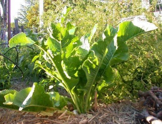 Как посадить хрен осенью: посадка, выращивание и размножение семян в огороде на даче