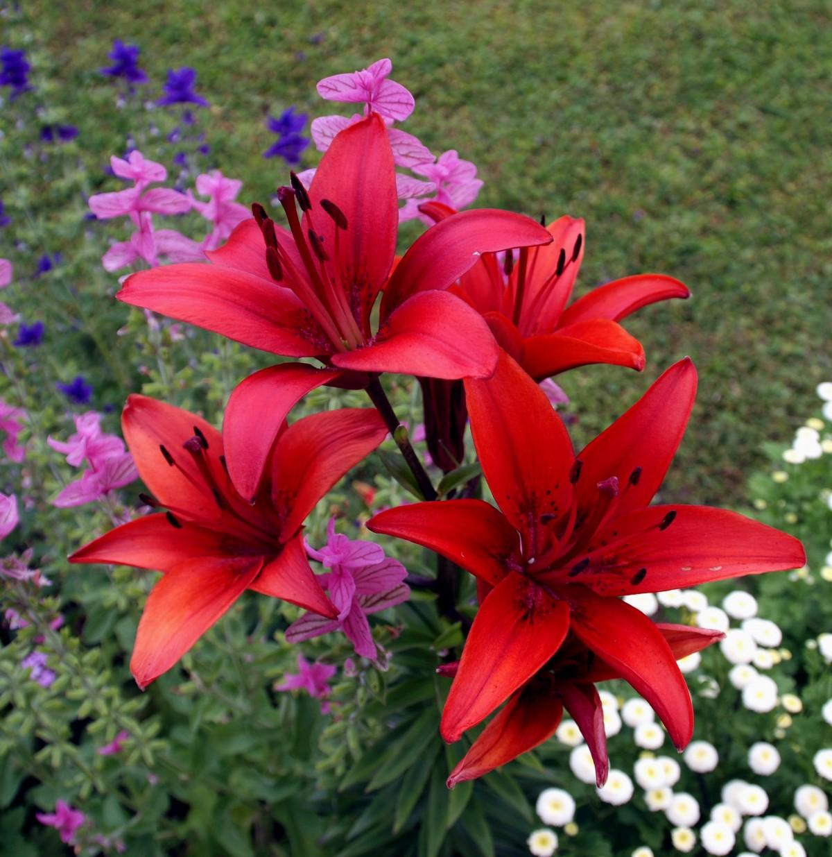 Болезни и вредители лилий — почему не цветут, борьба и лечение