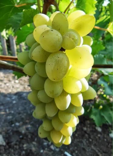 Виноградная лоза должна страдать. обрезка